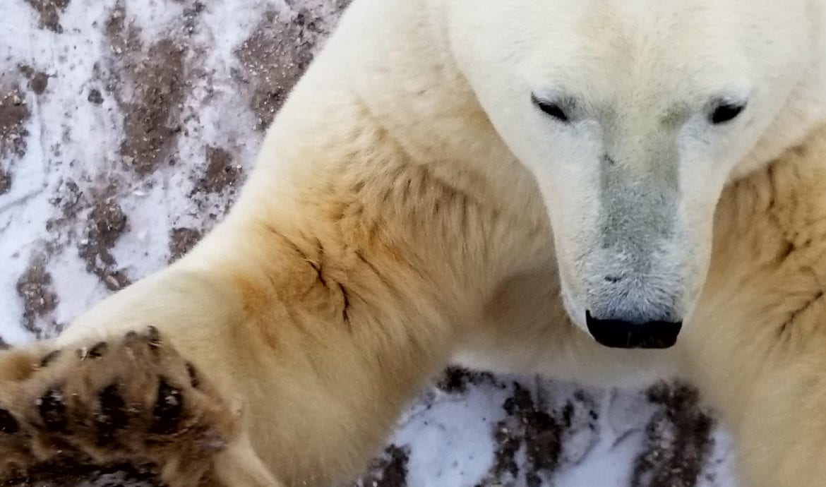where can you see polar bears in canada