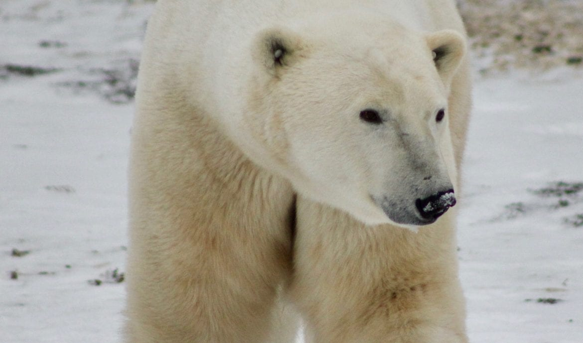 best time to see polar bears and northern lights in churchill