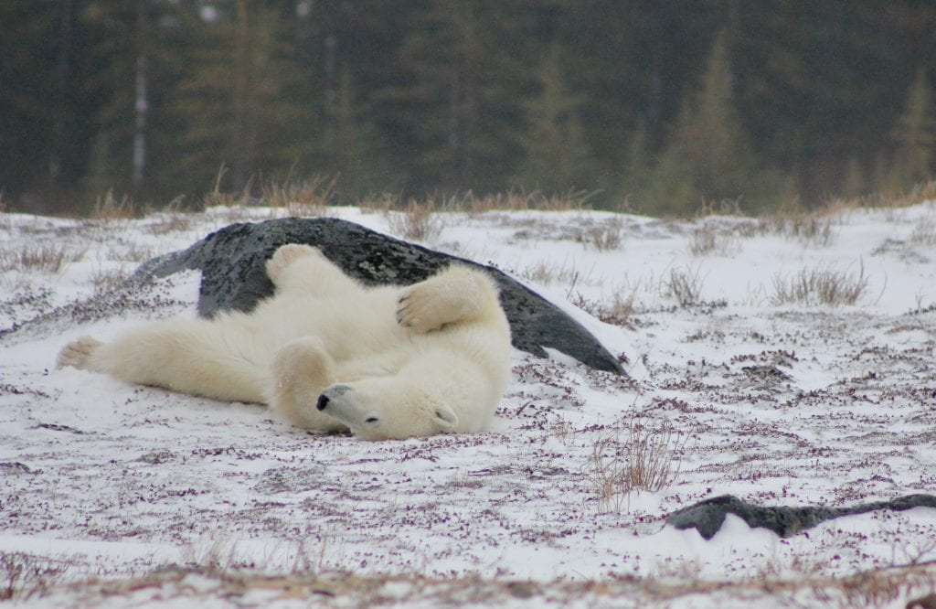 polar bear scratching