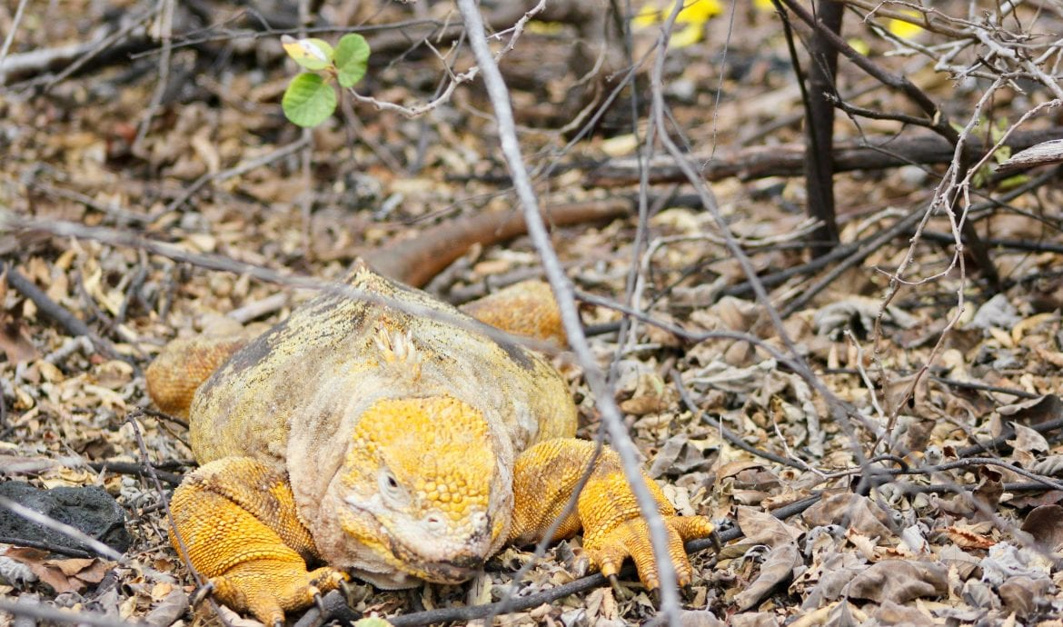 see huge iguanas in the Galapagos