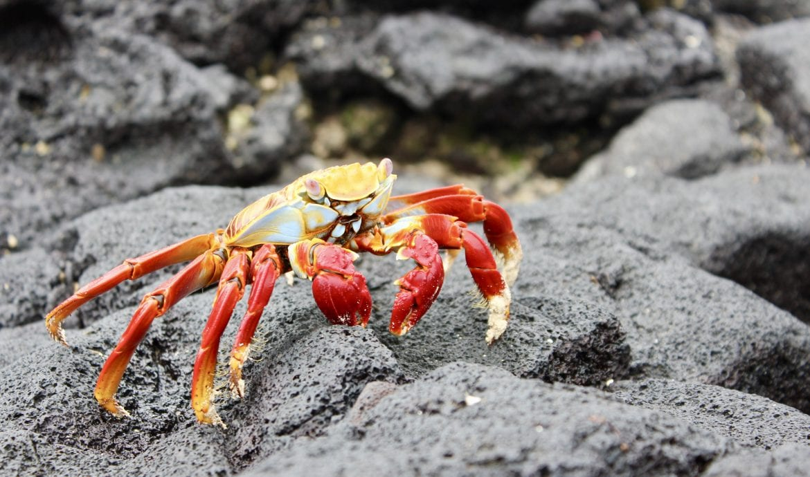 sally light foot crab galapagos