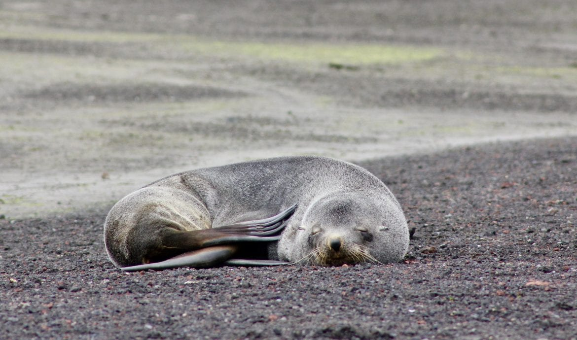 seal deception island antarctica