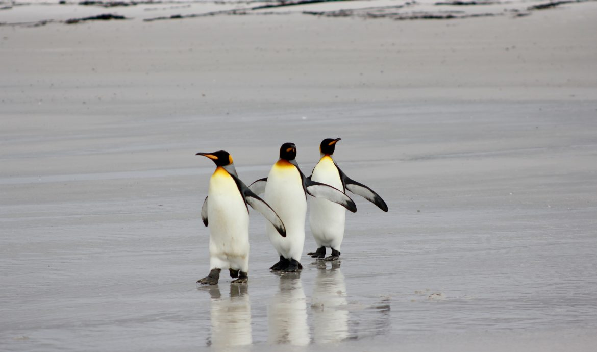 king penguins in a row