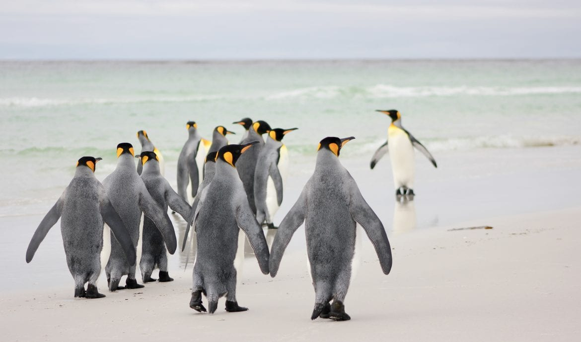 king penguins holding hands