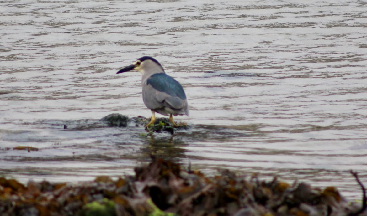 Black-crowned Night Heron picture