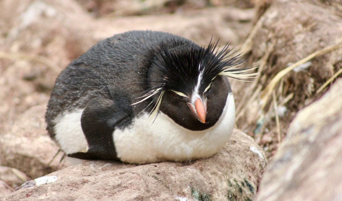 rock hopper penguin sleeping