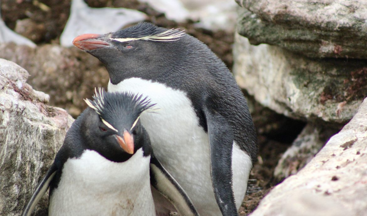 rock hopper penguins pictures